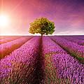 Lavender Sunrise by Matthew Gibson