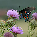 Lavender Thistle And Pipevine Swallowtail Butterfly by Kathy Clark