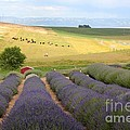 Lavender Valley by Carol Groenen