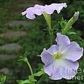 Lavender Whisper by Tara  Shalton