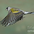 Lawrences Goldfinch by Anthony Mercieca