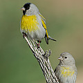 Lawrences Goldfinch Pair On Perch by Anthony Mercieca