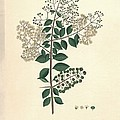 Lawsonia Inermis, Historical Artwork by Science Photo Library