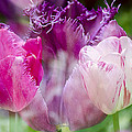 Layers Of Tulips II by Penny Lisowski