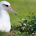 Laysan Albatross Nesting Hawaii by Tui De Roy