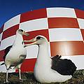 Laysan Albatross Pair Nesting Midway by Tui De Roy