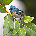 Lazuli Bunting 3a by Sharon Talson