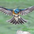 Lazuli Bunting In Flight by Anthony Mercieca