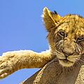Lazy Lion by Diane Diederich