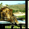 Lazy Lion With Poety by Jessica Foster