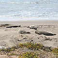 Lazy Seals by Christiane Schulze Art And Photography