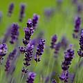 Lea Of Lavender by Venetta Archer