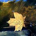Leaf Afloat by Tara Potts