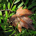 Leaf Among Ferns by Phil Penne