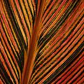 Cannas Plant Leaf Closeup by Linda Brody