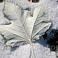 Leaf In Snow by M Dale