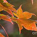Leaf In The Sun by Andrea Anderegg