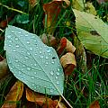 Leaf by Jann Kline
