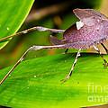Leaf Katydid by BG Thomson