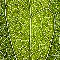 Leaf Lines V by Natalie Kinnear