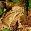 Leaf Litter Toad Bufo Typhonius by Michael and Patricia Fogden