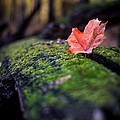 Leaf by Matthew  Sawicki