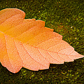 Leaf On Moss by Adam Romanowicz