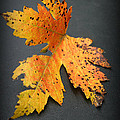 Leaf Portrait by Linda Sannuti