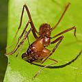 Leafcutter Ant Cutting Leaf Costa Rica by Konrad Wothe