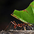 Leafcutter Ant by Francesco Tomasinelli