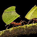 Leafcutter Ants Carrying Leaves Costa by Ingo Arndt