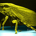 Leafhopper, Sem by David M. Phillips