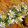 Leafy-bract Asters In Wildcat Canyon Trail Along Kolob Terrace Road In Zion National Park-utah by Ruth Hager