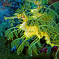 Leafy Sea Dragons by Donna Proctor