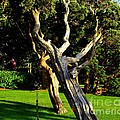 Leaning Cedars Of West Chop by CapeScapes Fine Art Photography