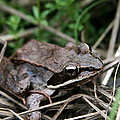 Wood Frog  by Neal Eslinger
