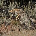 Leaping Coyote by Yeates Photography
