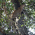 Leaping Leopard by David Beebe