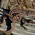 Leaping Lizards by Dana Doyle