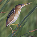 Least Bittern by Anthony Mercieca