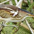 Least Bittern Female Feeding by Dee Carpenter