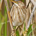 Least Bittern Pictures 35 by World Wildlife Photography