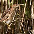 Least Bittern Pictures 7 by World Wildlife Photography