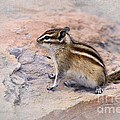 Least Chipmunk #2 by Betty LaRue