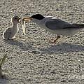 Least Tern Feeding It's Young by Meg Rousher