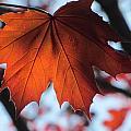 Leaves Backlit 2 by Anita Burgermeister