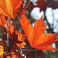 Leaves Backlit 4 by Anita Burgermeister