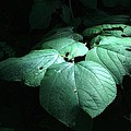 Leaves In A Patch Of Sunlight by Ludwig Keck