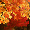 Fall Leaves In Afternoon Sun by Teresa Herlinger
