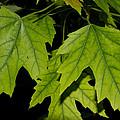 Leaves by John Herzog